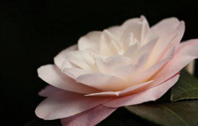 camellia-3325623_1280