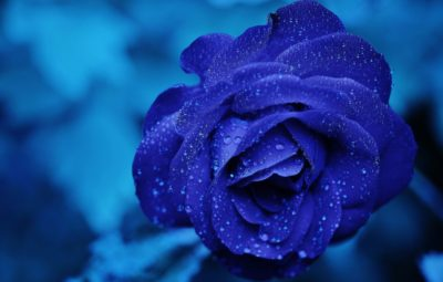 rose-blue-flower-rose-blooms-67636